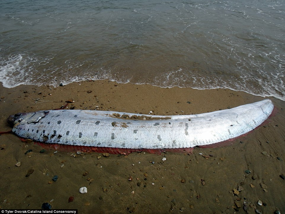 Oarfish are pelagic fish that usually stay within the dark depths of the ocean, below about 1,000 feet