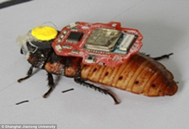 The scientist was able to control the movement of the cyborg insect, fitted with electrodes and a chip (pictured) by wearing an electroencephalography (EEG) headset that can read specific brain patterns