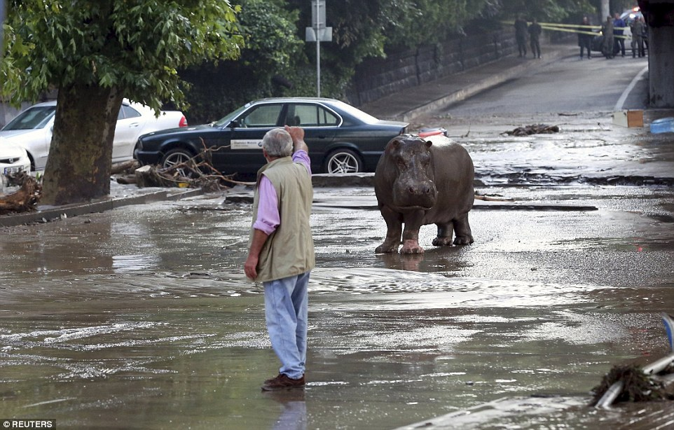 A hippo who escaped from a zoo in the Georgian capital Tbilisi after flash floods destroyed the animal's enclosures allowing them to roam the streets - residents have been urged to stayed indoors as authorities try to catch the rest of the beasts on the loose