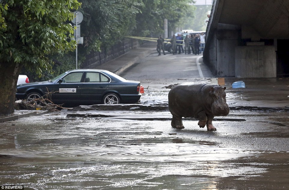 Before being cornered, pictures showed the large hippo wandering along a main street among stranded cars on a dual carriageway