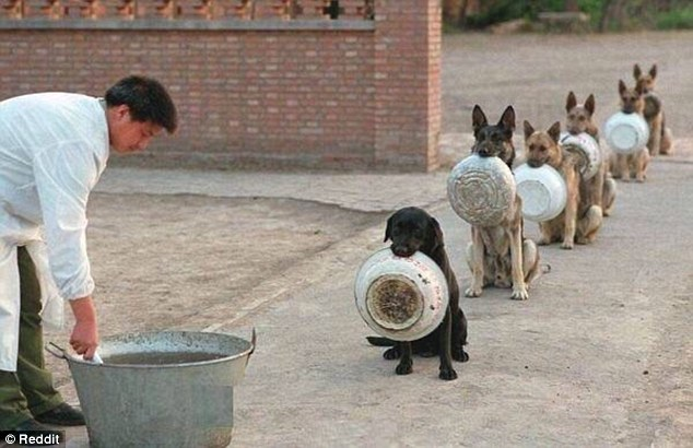 No skipping the queue: The six police dogs wait patiently in an orderly line to receive their food. The picture is believed to have been taken in a police dog academy in China