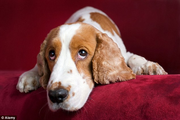 A new report has revealed that dogs are suffering from psychological burnout because they are unable to keep up with owners' busy lifestyles (file picture)