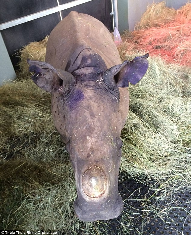 How a baby rhino 'suffering post-traumatic stress disorder ...