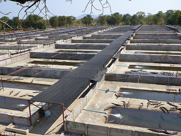 Huge operation: The company Padenga operates one of the largest Nile crocodile–farming operations in the world in Kariba, Zimbabwe