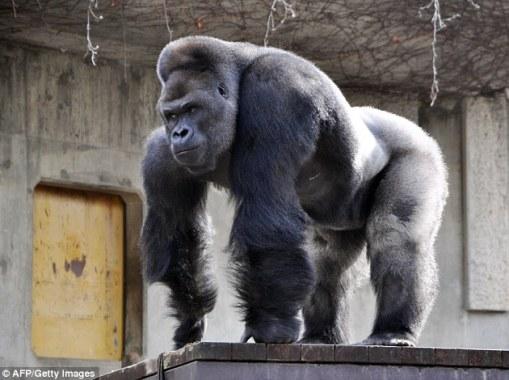 Shabani the gorilla, who grew up in an Australian zoo, has become a heartthrob among women in Japan