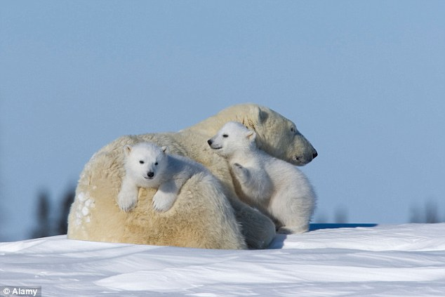 The End Wallpaper Cute Global Warming Could Leave Polar Bears Extinct If It Is