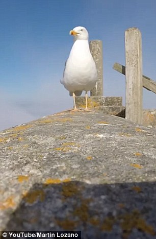 The curious seagull approached the GoPro camera, which had been left recording on a wall on the Cies Islands