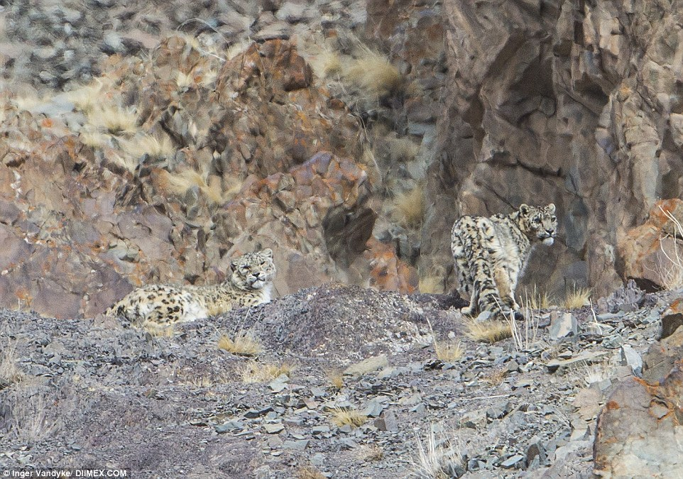 According to Inger Vandyke, seven out of eight times the snow leopard, pictured, fails in its attempts to kill its next meal