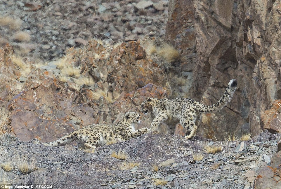 Two of the snow leopards took time out of their hunt to play with each other in their remote mountain location above Ladakh