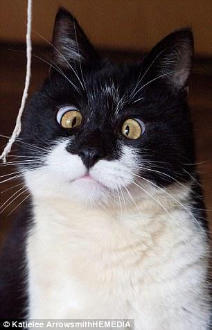 Cat left crosseyed and looks like Jungle Books Bagheera