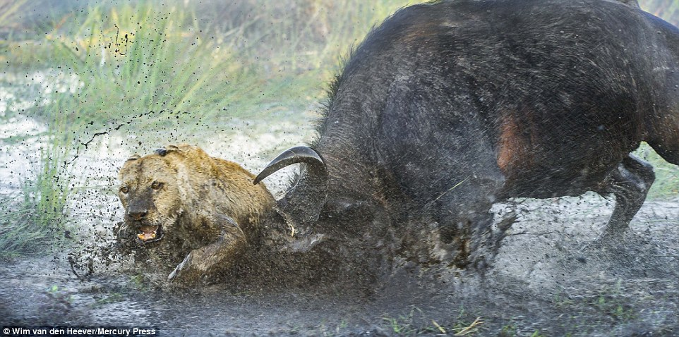 The lion is usually the hunter, but in this scene it's the prey that seems to have the upper hand