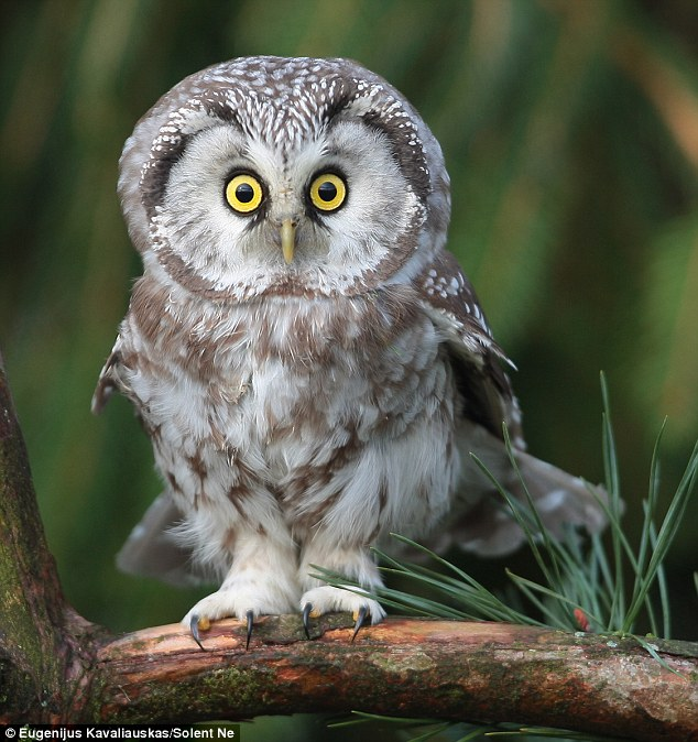 The Tengmalm's Owl, pictured by photographer Eugenijus Kavaliauskas, which was hunting from its prey