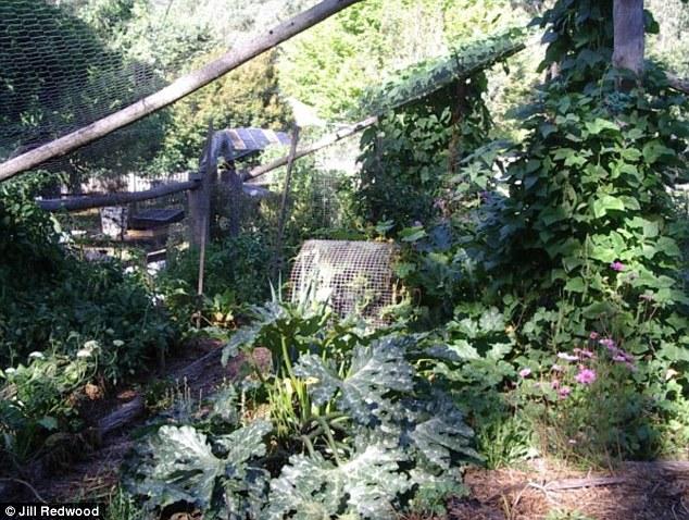 frutas e vegetais jardim da Sra Redwood, que está coberto de compensação para manter os gambás fora
