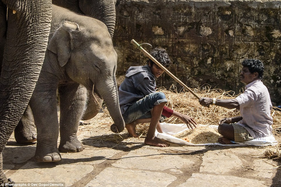 A baby elephant is beaten by a mahout using an ankush - a wooden stick with a steel hook foxed at one end - while he tries to eat his morning meal of rice grain, jaggery (unrefined sugar) and straw