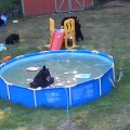 Family of bears cool off in their paddling pool daily mail online