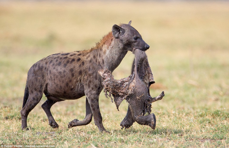 Hyena feasts on baby elephant limb after hiding piece of