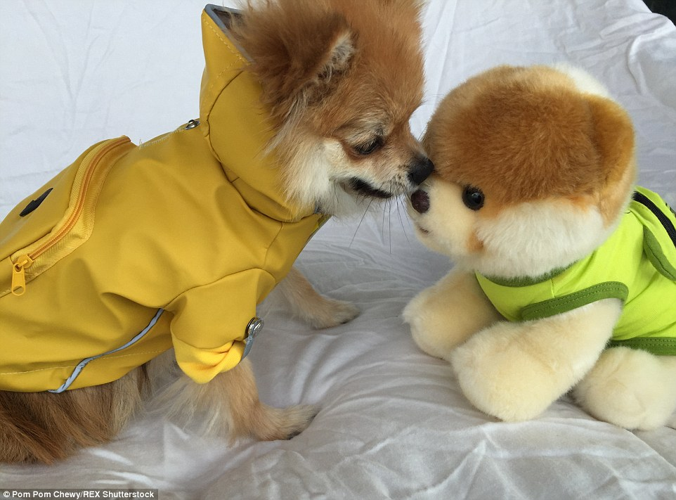 Cute dog Pom Pom Chewy becomes internet hit by posing in