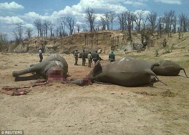 Elephants lie slaughtered on the ground after reportedly being poisoned and mutilated bydisgruntled rangers at Hwange National Park in Zimbabwe in a reported pay dispute