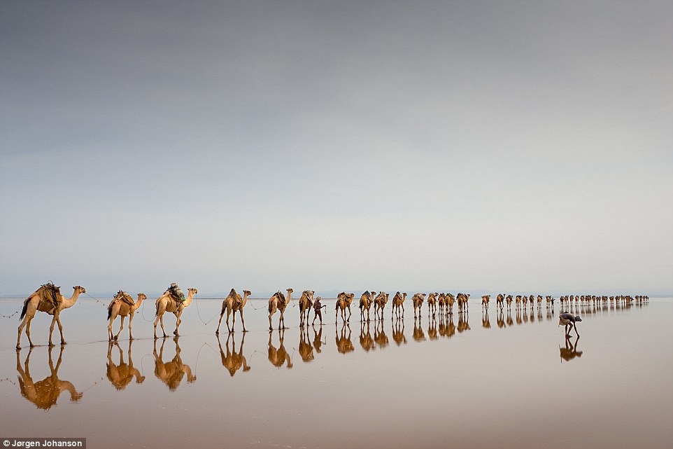 Travel - Third Classified: Coming to get salt, by Jørgen Johanson. 'The Danakil Depression in Ethiopia is among the hottest and most inhospitable places on earth. It is also one of the lowest, and Asale lake is 116 metres below sea level. The Afar people are extracting salt here, using camels for transport'