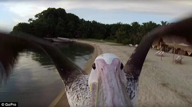 Image result for pelican carrying fish pictures