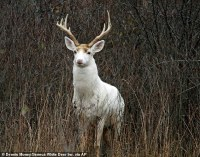 Rare white deer at Seneca Army Depot in Romulus face an ...