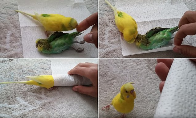 Broken Hearted Budgie Refuses To Leave The Side Of His