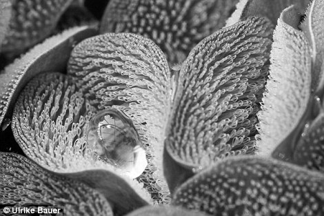 """Fern with a drysuit (EB41) Category winner: Evolutionary Biology Plants have evolved elaborate surface structures to modify the wettability of their leaves. The leaves of the water fern Salvinia molesta are covered with whisk-like hairs. The leaf surface and all but the very tip of the whisks is extremely water-repellent, keeping the leaf perfectly dry even when it is submerged for several weeks. The hydrophilic tips of the whisks 'pin' droplets in place. This further helps to prevent the water from entering the space in the between the whisks. In recent years, plant surfaces have repeatedly inspired the design of biomimetic (""""nature-mimicking"""") applications for human use, most famously the self-cleaning paints based on the Lotus leaf. The photograph was taken in Bonn Botanic Garden (Germany). Canon Eos 350D camera with Sigma 105mm macro lens.  Ulrike Bauer, UK"""