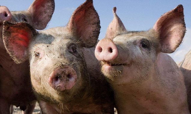 Its Superpig UK livestock genetics firm breeds first pigs capable of resisting major common