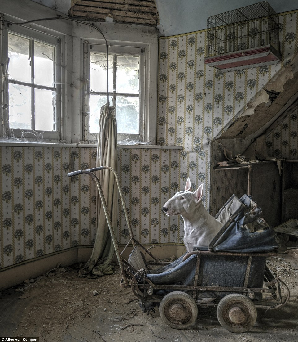 Sitting in a dusty and rusted children's pram in an abandoned villa, the dog stares out of the window which is no longer covered by drapes