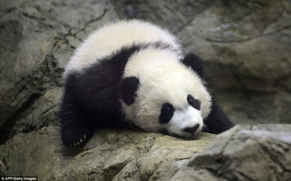 Giant panda cub Bei Bei makes public debut at the National