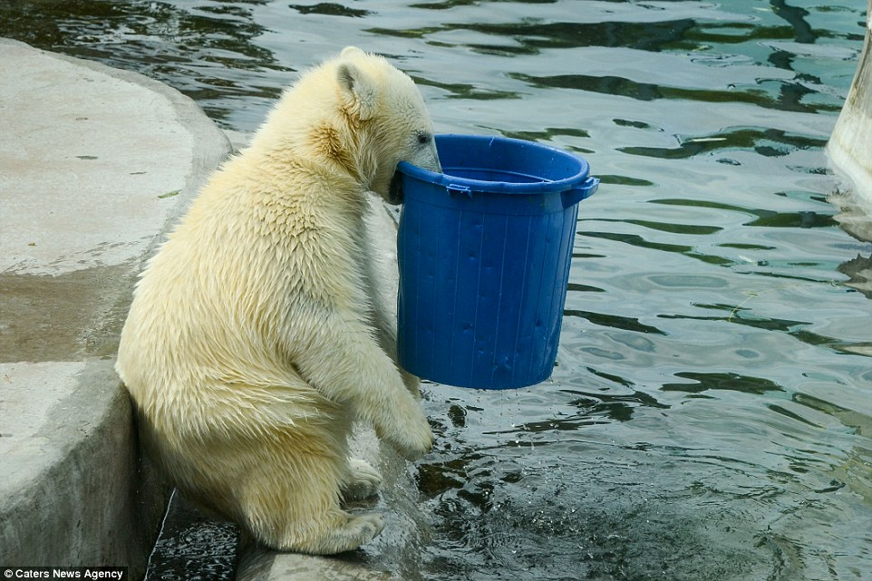 Moscow Zoo polar bear appears to guzzle down gallons of