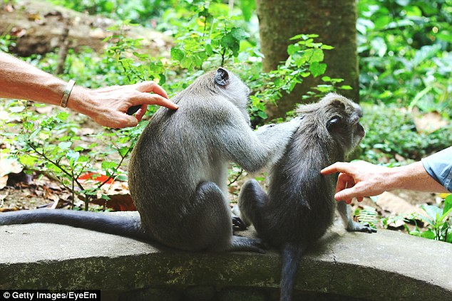 An Australian became ill with Zika virus seven days after he was bitten by a monkey at a Bali Monkey Forest