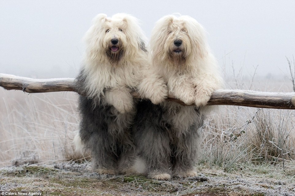 Cees Bols Sheepdogs Who Love Posing Together For The