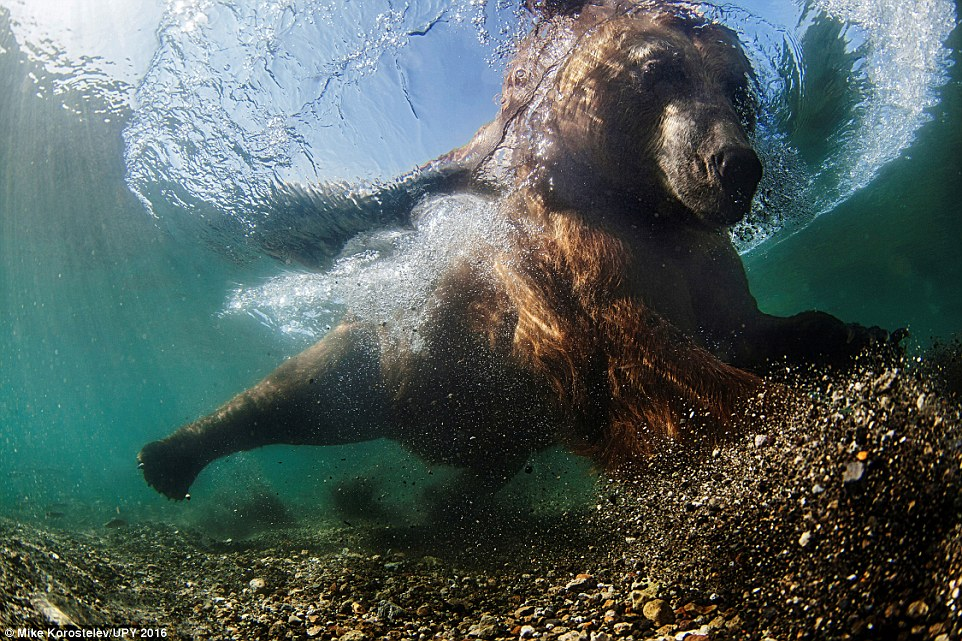 This image was taken by Mike Korostelev from Russia. He said: 'Cages are more commonly associated with photographing great white sharks, but I constructed a cage to keep me safe as I captured the fishing behaviour of the bear. I waited many hours in the cold water for the bear to come close enough to make my photo. The bear's strategy is to start by sitting down, putting his head under the water and looking for fish. Once the fish start to ignore him, he creeps closer before making his crucial lunge to snare a large salmon in his paws, or teeth'