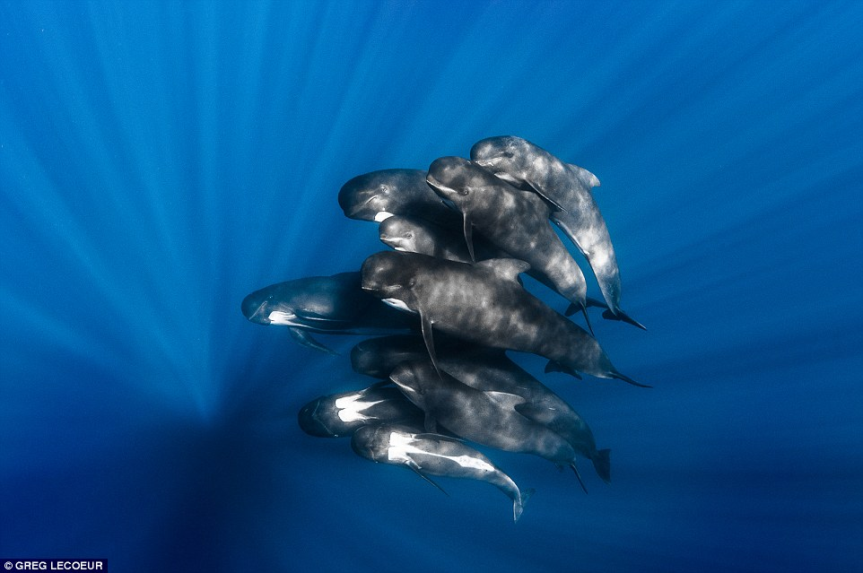 French photographer Greg Lecoeur also snapped this mesmerising image of a pod of pilot whales circling beneath the surface