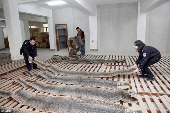 Shocking: Customs officers in China discovered 24,000 sheets of python skins during a raid in a warehouse