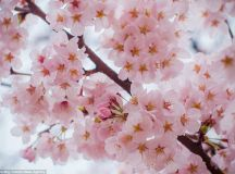 Japan and South Korea are transformed by blooming cherry ...