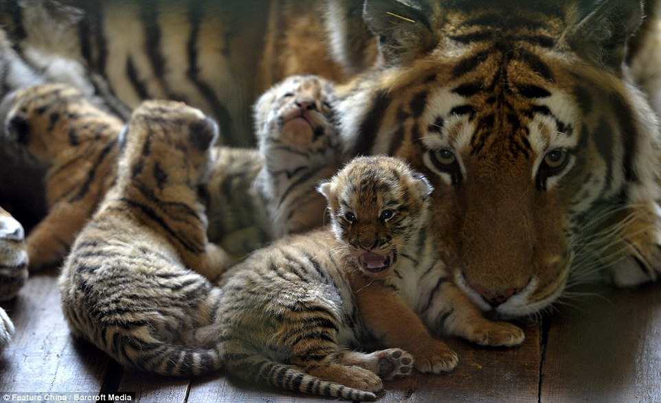 Cute Baby Cheetah Cubs Wallpaper Chinese Zoo Debut Rare Tiger Cubs With Beautiful Images