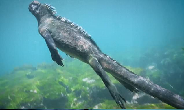 Godzilla marine iguana the same size as a human hunts