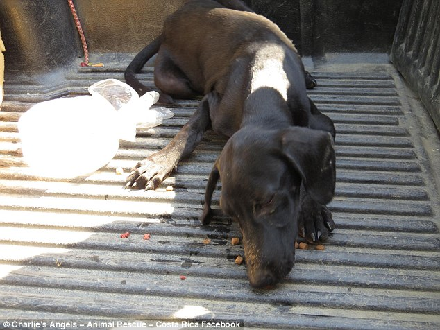 Food: Safely in the back of her car, the dog - now named Gaia - was given some food and shade