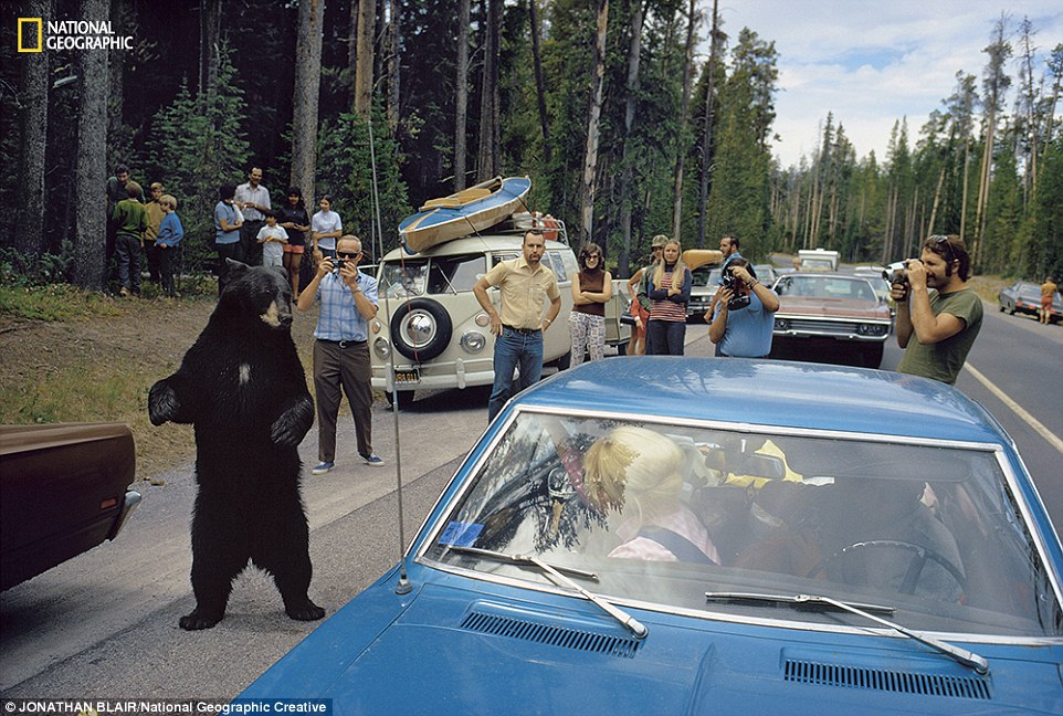 What wilderness means to people has steadily changed since Yellowstone was founded. The Park Service no longer tries to make tame spectacles of wild animals. But today, as in 1972, when this photo was taken most visitors to the park never get far from the road and a black bear is still a reason to pull over