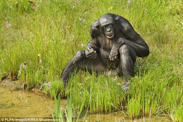 One of the more striking features of the human penis, when compared with other primates, is its length. Relative to body size, the human penis dwarfs that of bonobos, common chimpanzees, gorilla and orangutan. And our erect stance and face-to-face social interactions make the penis a highly conspicuous feature