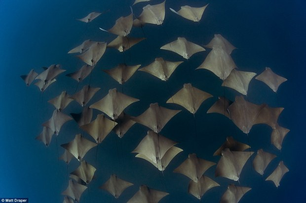 This breath-taking picture shows a group of cownose rays drifting through the ocean at Byron Bay in Australia