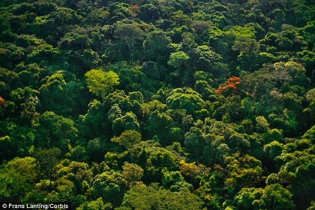 Os cientistas descobriram muito do greening extra devido ao aumento dos níveis de dióxido de carbono está ocorrendo em torno dos trópicos, onde grandes extensões de floresta tropical (foto) pode ser encontrado