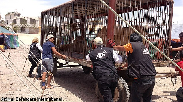 Members of Animal Defenders International's lion rescue team transported the lions from South America to South Africa to begin their new lives. The organisation's president said they had suffered 'hell on earth' in the circuses