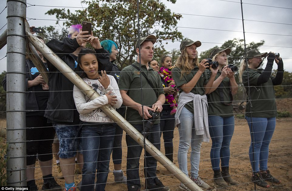 Excited workers wait to greet the arrival of two lorries carrying the 33 lions. The animals will be fed game meat for their first meal at Emoya, which is already home to six rescued lions and two tigers