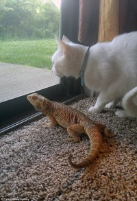 Cat and bearded dragon love taking naps together after ...