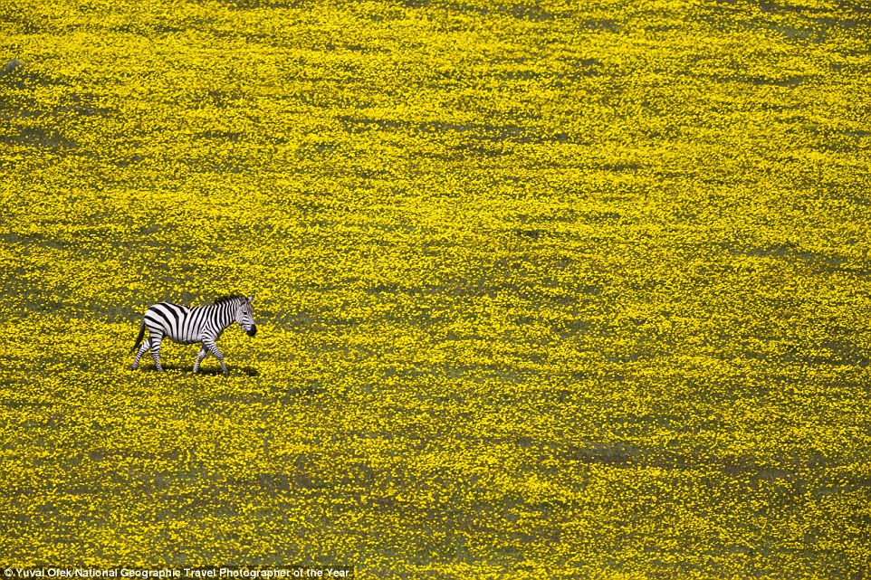 A lonely zebra in the midst of a field full of flowers was photographed by Yuval Ofek near Serengeti National Park in Tanzania
