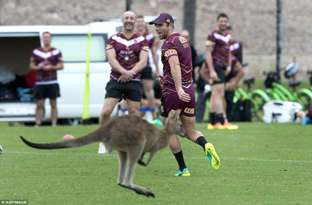 Kangaroo Interrupts Queensland State Of Origin Side Ahead Of Game Two Against Nsw Blues In Brisbane