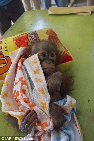 Orphaned baby orangutan in pain after being found with a
